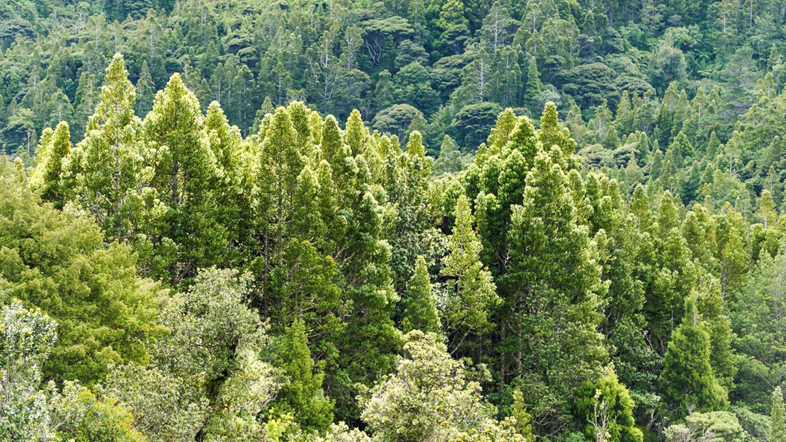 Tall kauri trees grow above other trees in dense forest.