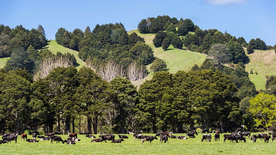 Hills covered with totara trees and cows grazing on pasture in the foreground.