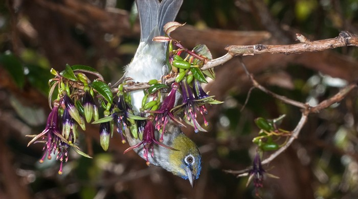 Silvereye bird hangs upside down feeding on the small fruits of tree.