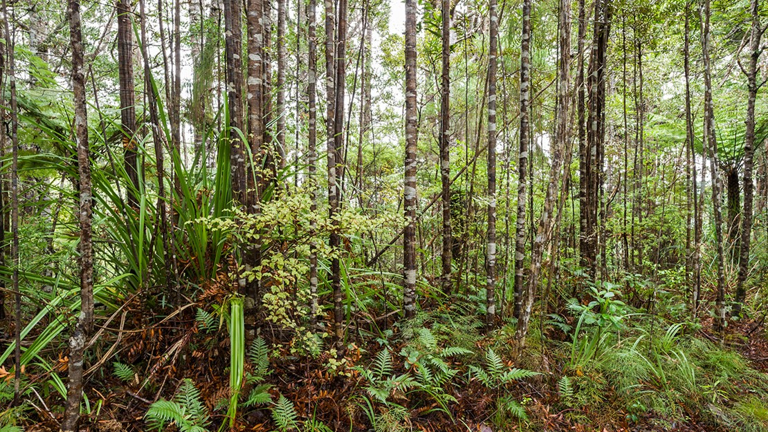 Narrow trunks of kauri forest with fern and flax plants growing at the base.
