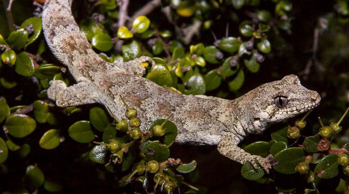 Grey/brown forest gecko sits on a leafy branch.