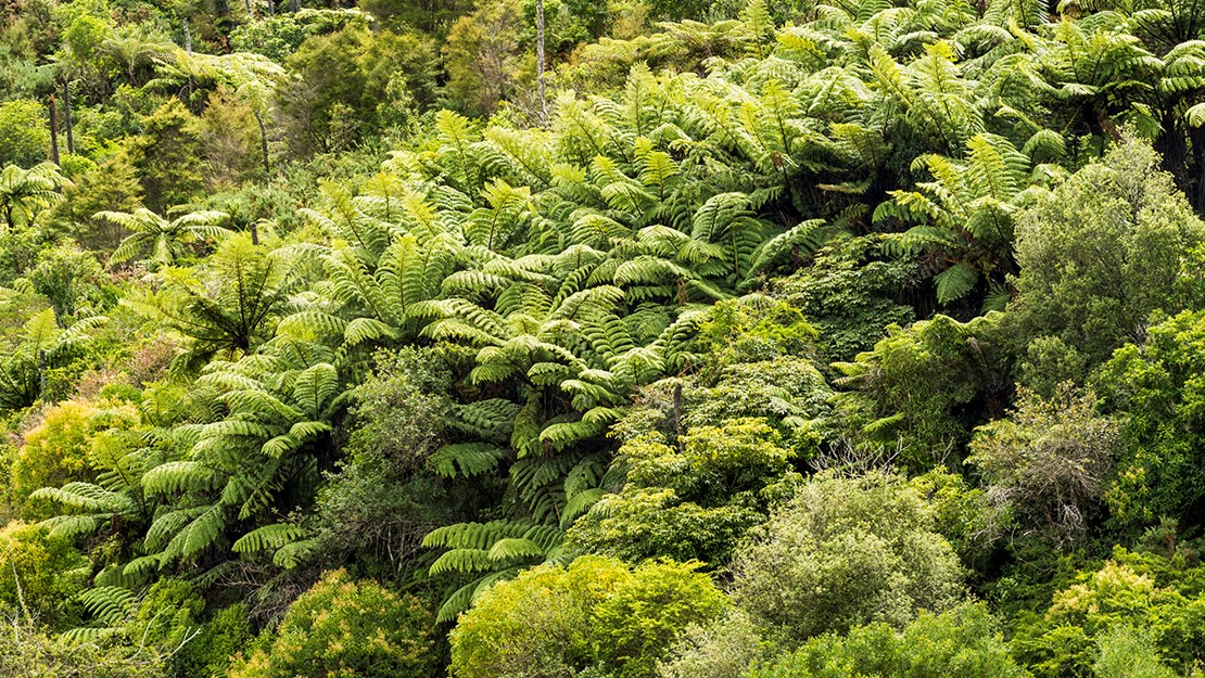Dense forest dominated by ferns with a few scattered broadleafed trees.