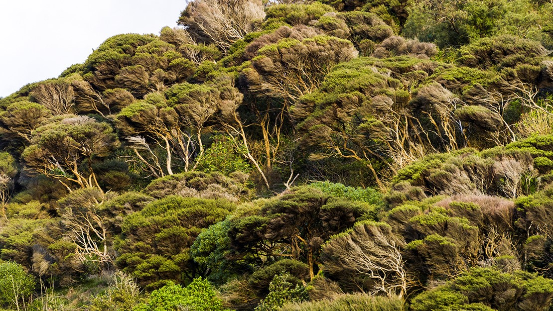 Forest of kānuka trees on a hillside.